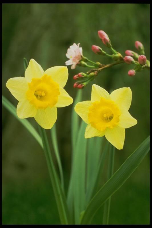 spring bulb tips, gardening