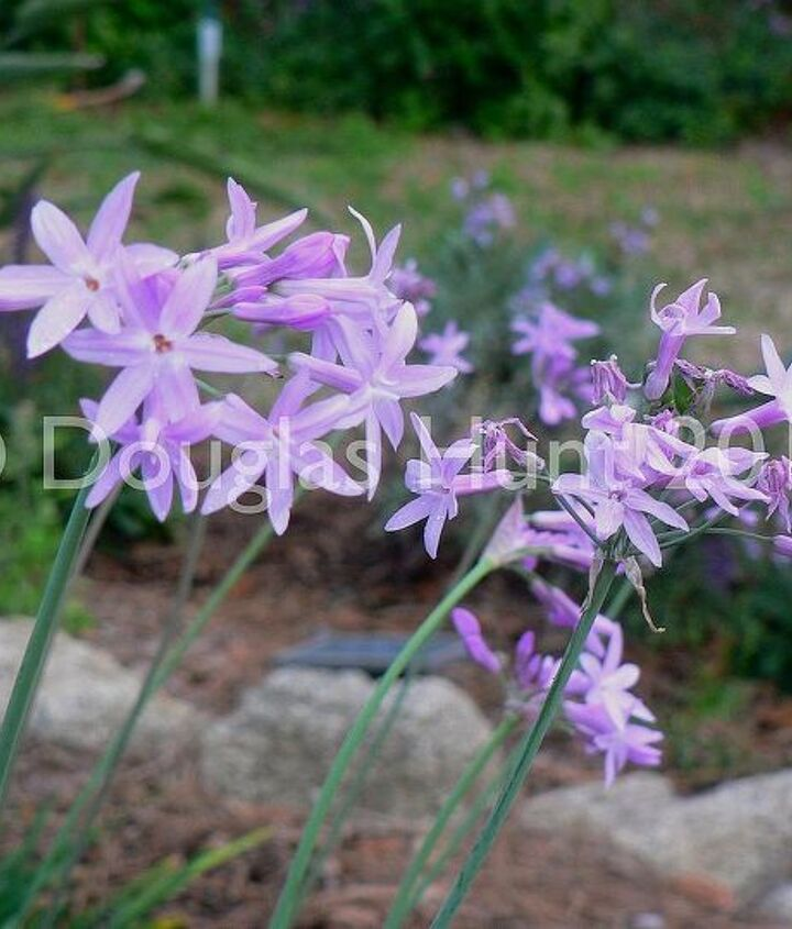 The society garlic (Tulbaghia violacea) has just started blooming and should do so through fall. (Hardy to zone 7.)