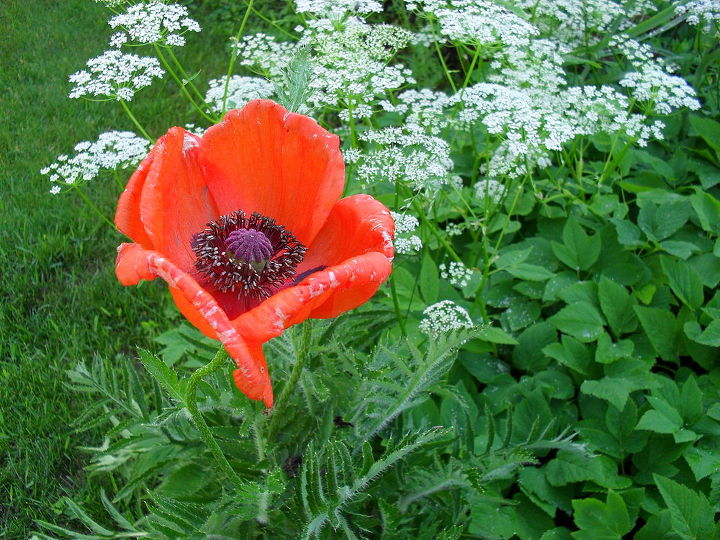 more garden pictures, gardening, outdoor living, I tried for years to get rid of all of these poppies I pulled dug sprayed and prayed They just kept coming back How thankful am I