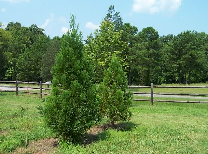 Cryptomerias are a great choice for your evergreen garden.