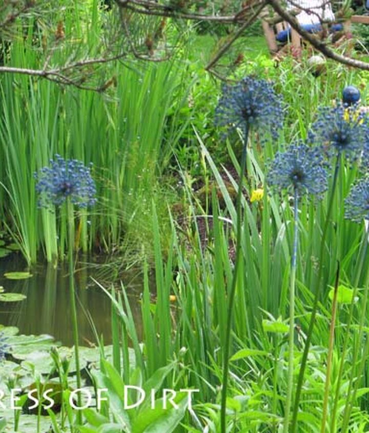 The blue alliums echo the colour theme through the differnt garden beds.