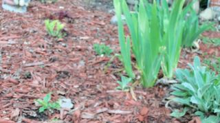 , The irises are growing nicely and I see the hosts starting to pop up