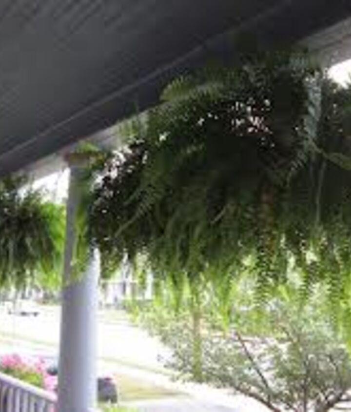 boston ferns vacation help, gardening