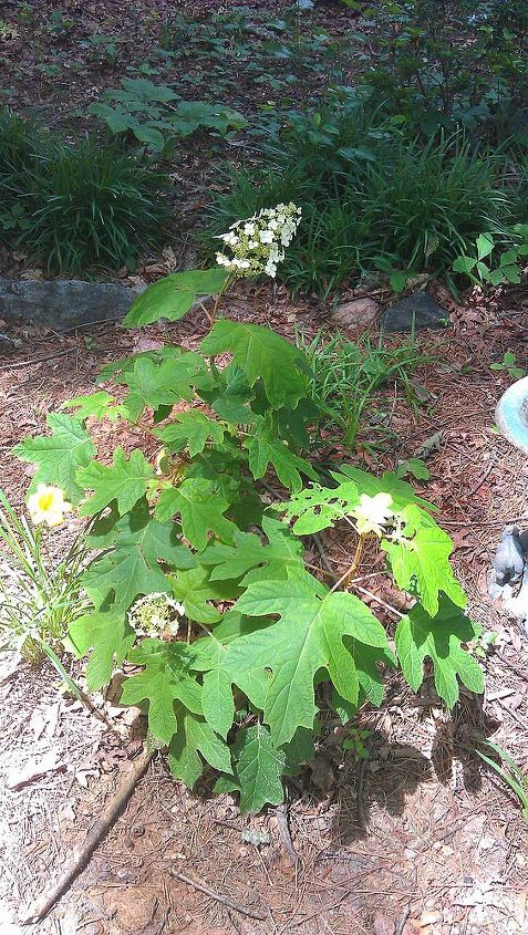 don t be afraid to buy that half dead looking plant, flowers, gardening, hydrangea