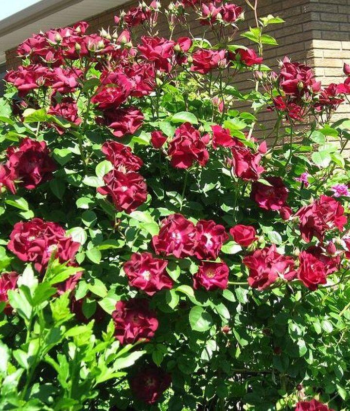 my rose s, gardening