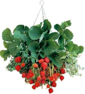 Hanging baskets are a great way to grow strawberries