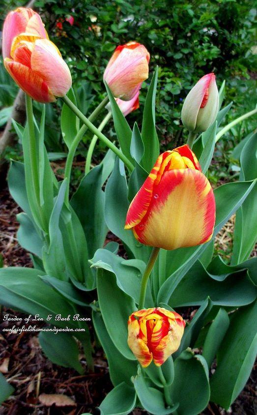 """""""Gudoshnik"""" Tulips"""