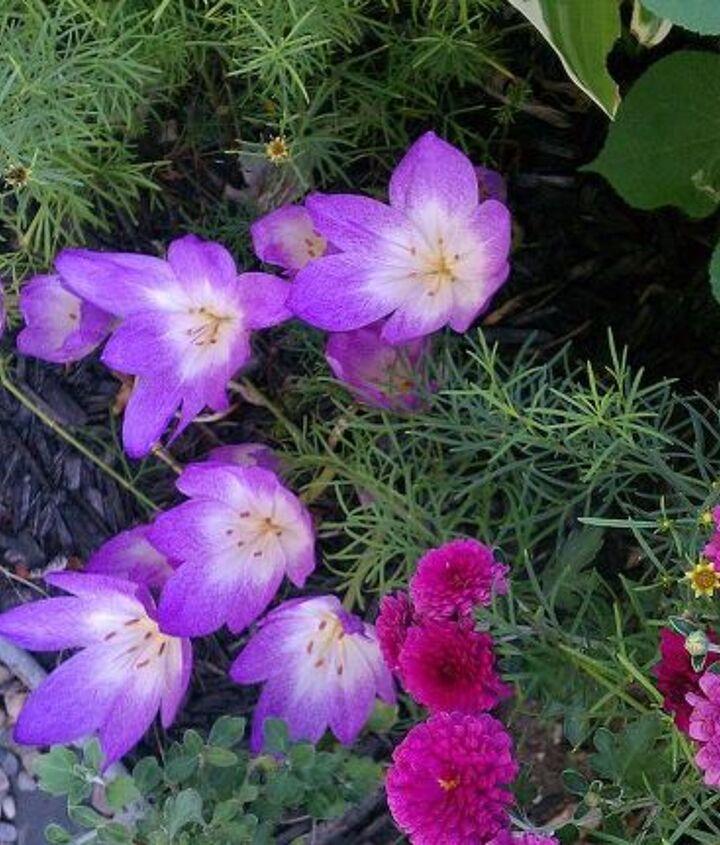 garden look whats blooming here already autumn crocus, flowers, gardening