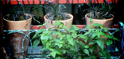 """Another """"thing"""" that I have been growing in threes is Black Mondo Grass, which were kept in the fireplace planter after the basil was no longer available @ http://www.thelastleafgardener.com/2011/05/monday-morning-musings-challenging.h"""