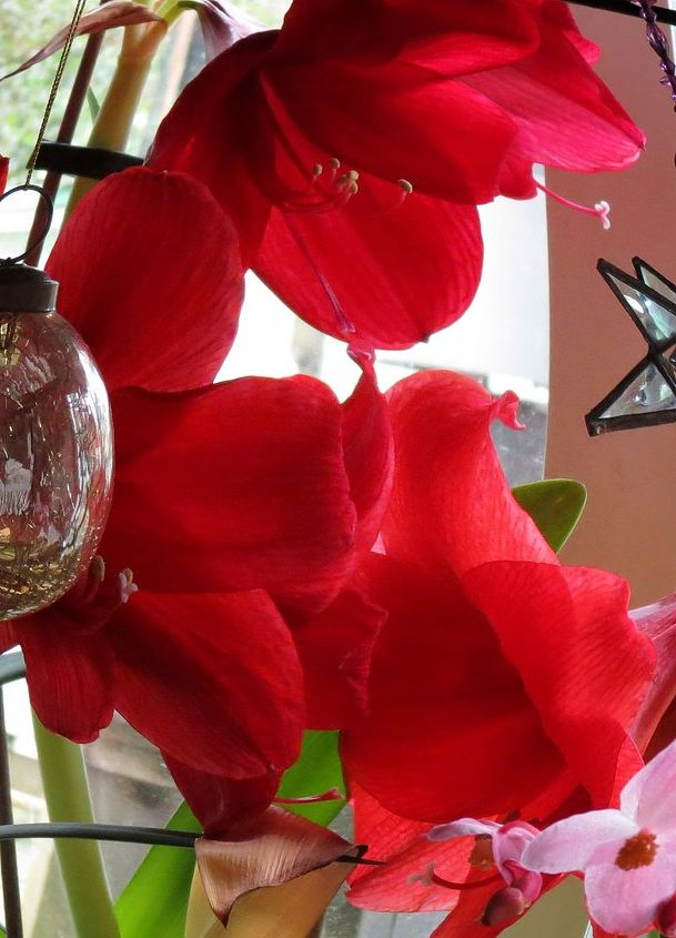 Love those big red amaryllis