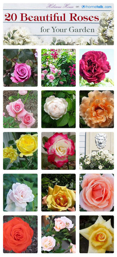 20 beautiful roses, gardening, click on the board link and click the pictures to go to the owner of the roses page