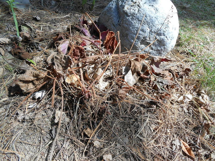 heuchera woody rejuvenate and propagate at the same time, gardening, Heuchera Southern Comfort