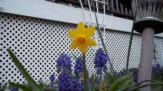 , grape hyacinths and a mini narcisus I don t know what it s called or how it got in the planter but the yellow is a nice contrast to the blue purple