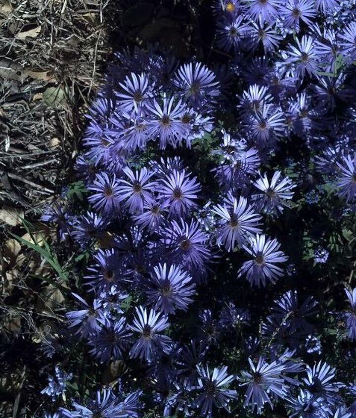 the last of the blooms in my garden, flowers, gardening