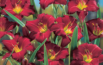 How to Grow Better Daylilies