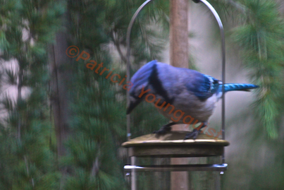 A youngster-bluejay checks out WBUSS Feeder! View Two. (Referred to as Photo-Thirteen in post.)