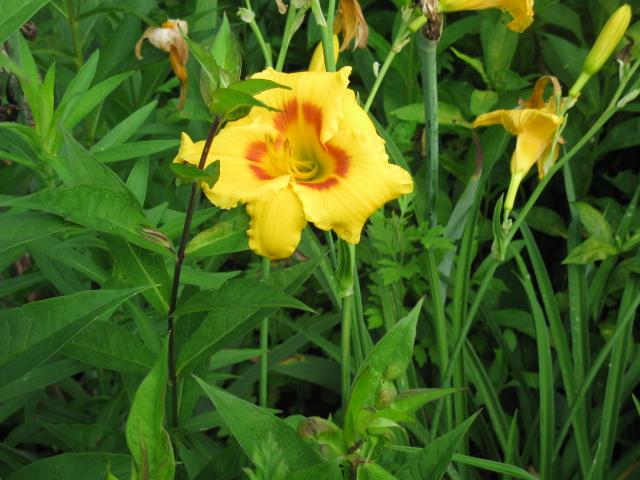 sea of lilies, gardening