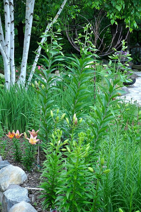 Lilies vary in height. These range from just a few inches high to over six feet.
