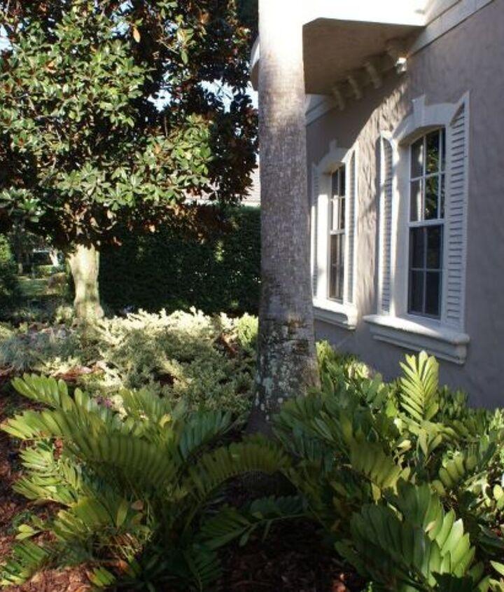 Cardboard palms with Jackfrost Ligustrum in the background.