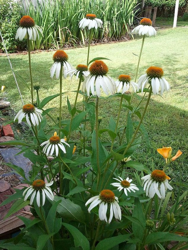 White coneflowers in a raised bed box my husband built. That's Louisiana flag iris in the background.