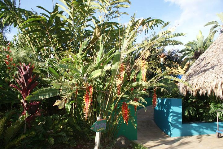Lobster claw heliconia has flowers that feel like plastic and last for months. There are over 200 varieties. I use them in my landscapes in protected areas.