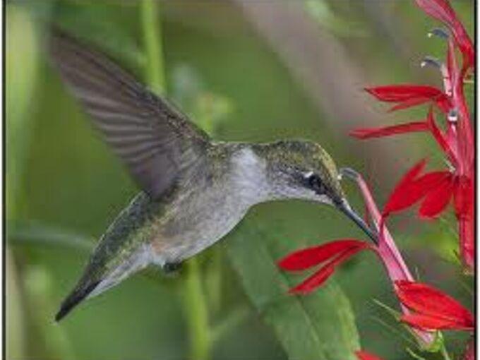 cardinal flowers, flowers, gardening, Hummingbird enjoying a cardinal flower