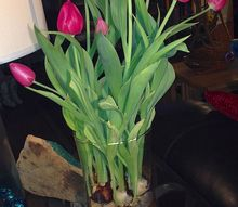tulips for valentines what to do, flowers, gardening