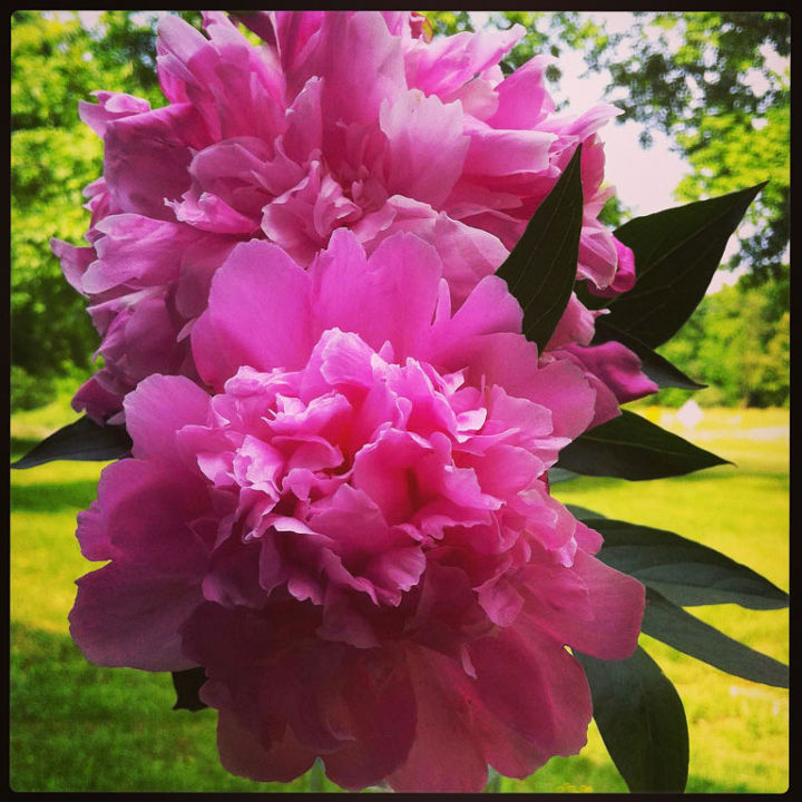 Pink Peonies Blooming in Illinois Home