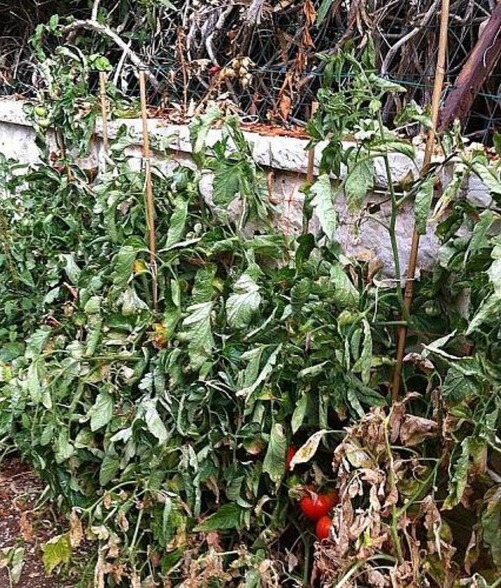 q tomatoes dry leaves, gardening