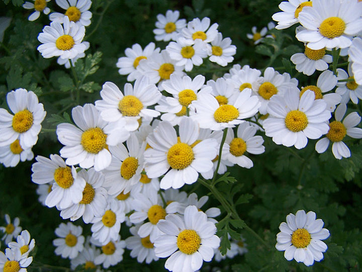 Like Calendula, Feverfew is a happy-go-lucky flower that shows up in the oddest nooks and crannies. I welcome it wherever it turns up. (Full sun)