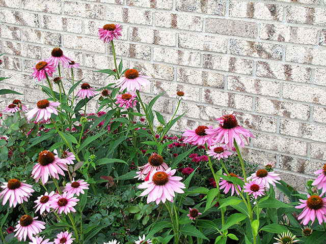 purple coneflower the butterfly lovers perennial, flowers, gardening, perennials, pets animals