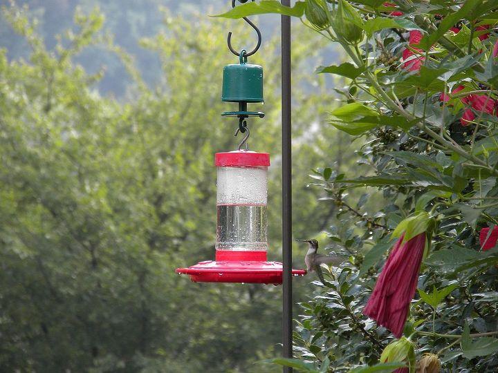 Perky Pet Ant Guard on Hummingbird Feeder