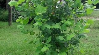 q i think this is a maple tree can anyone let me know for sure, gardening
