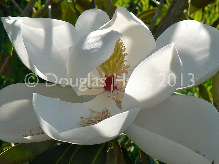why you should plant magnolia grandiflora little gem, gardening, The balletic blossom of Magnolia grandiflora Little Gem