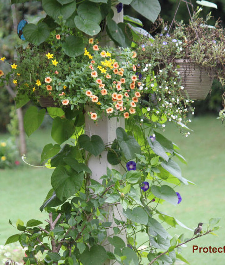 how far apart should i place my hummingbird feeders, flowers, gardening, hibiscus, pets animals