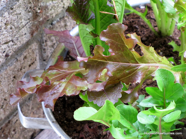 growing lettuce in a colander or how to grow and wash your veggies all in the same, container gardening, gardening, Then I just added dirt and the lettuces I bought small lettuce plants but you could grow from seed