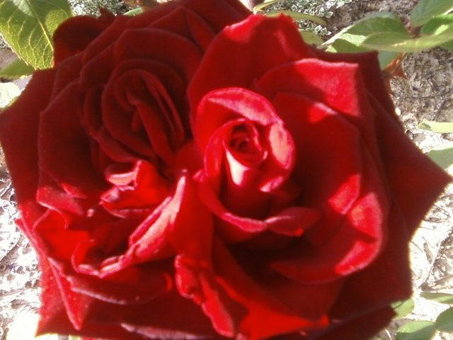 double red rose, gardening