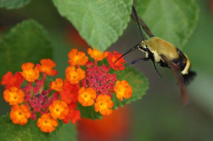 butterflies amp lantana, gardening, pets animals