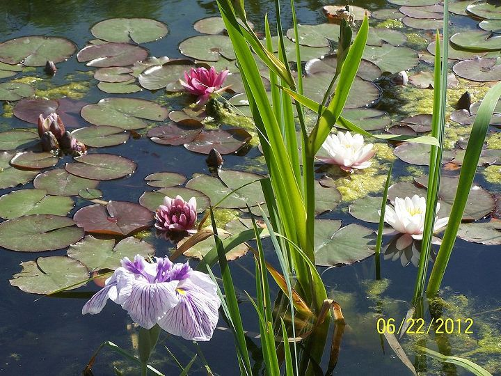 Water Iris and water lilies