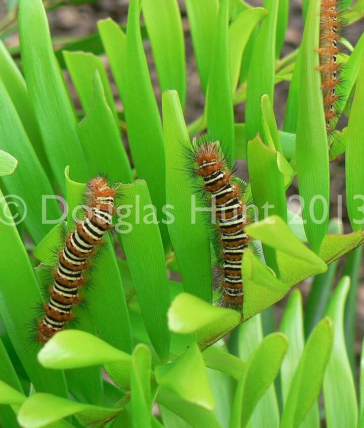 The caterpillars of Seirarctia echo feasting on coontie (Zamia pumila), our only native cycad.