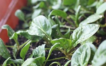 grow spinach indoors in winter, gardening