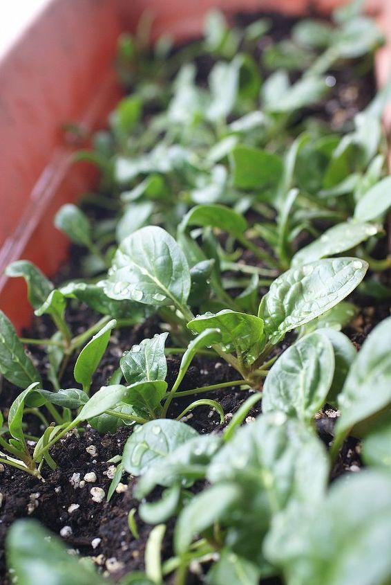 grow spinach indoors in winter, gardening