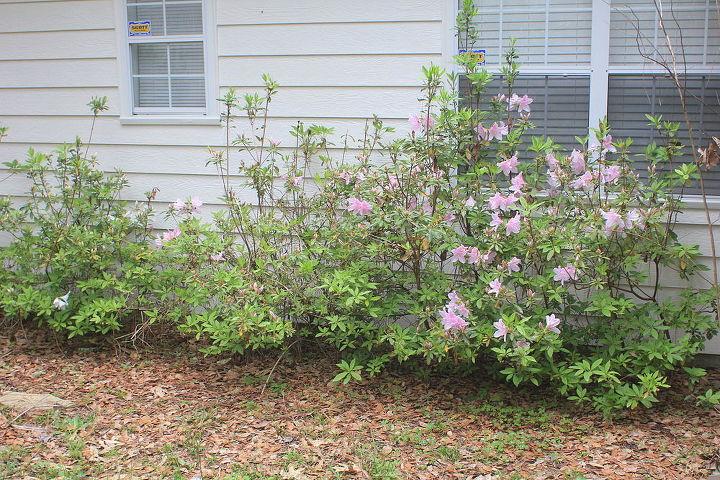 q n fl novice gardener advice on rehabilitating azaleas hydrangeas, flowers, gardening, hydrangea
