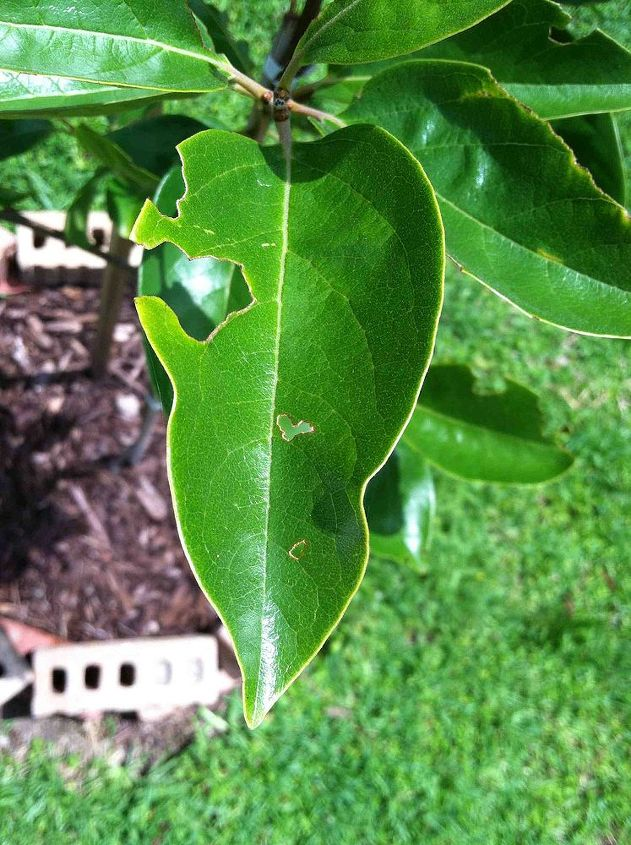 something is eating the leaves on my persimmon tree, gardening