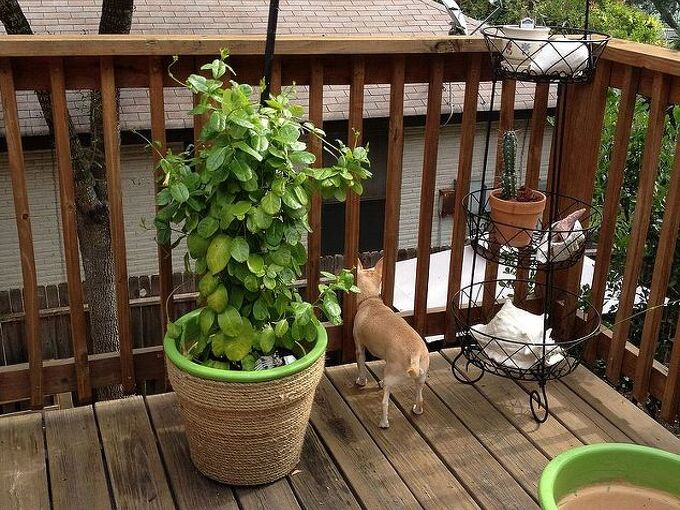re vamp an ole planting pot, gardening, painting, This is the after short and my new plant look nice and I finished the other planter and also got a matching plant to put on it There s our Chuck looking over the deck