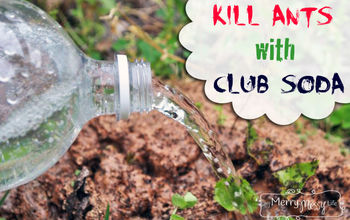 Easy Solution to Kill Ant Piles - Club Soda!