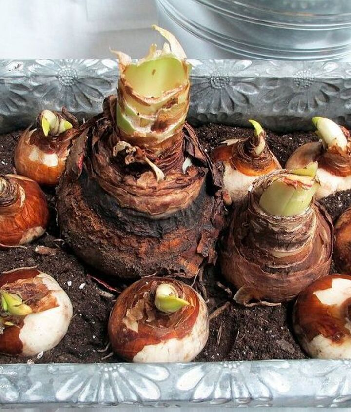 Place the amaryllis bulbs in first, then nestle paperwhites around them. Push them firmly into the soil and water.