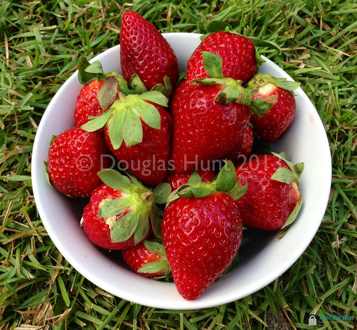 "A bowl of ""Florida Radiance"" strawberries, fresh from the farm."