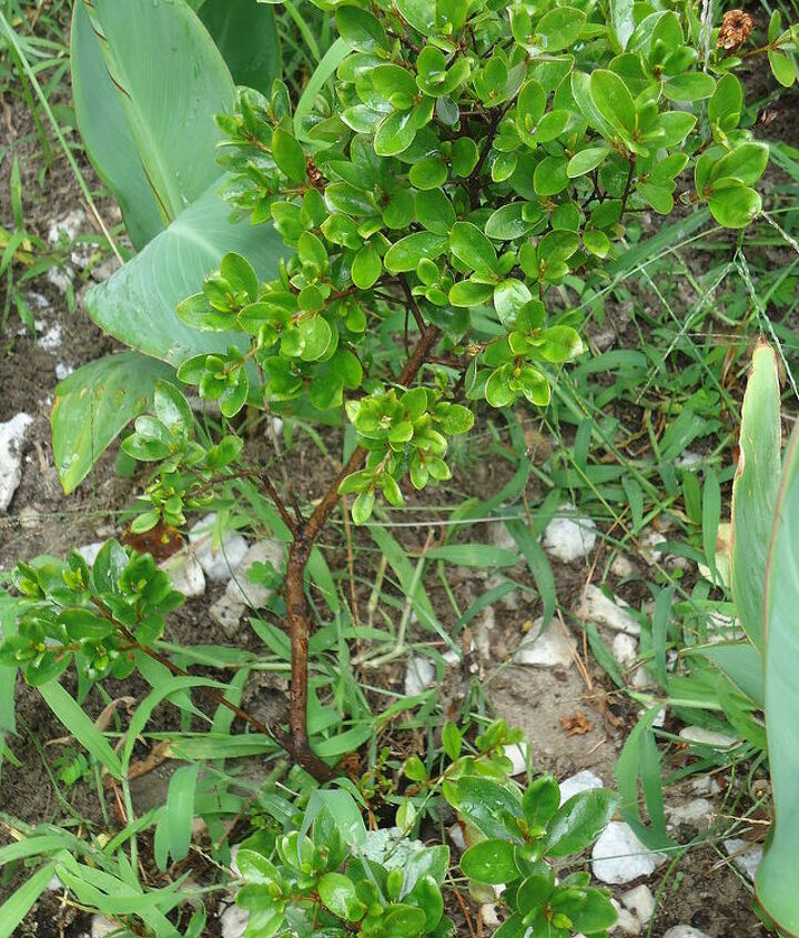 could you please help me identify this shrub, flowers, gardening, landscape