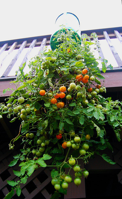 "Upside down tomato planter. One of the fun ideas in the series ""Gardening Ideas for Kids:"" http://themicrogardener.com/gardens-for-kids/"